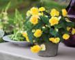 Begonias are ideal for garden beds, walkway borders and containers.